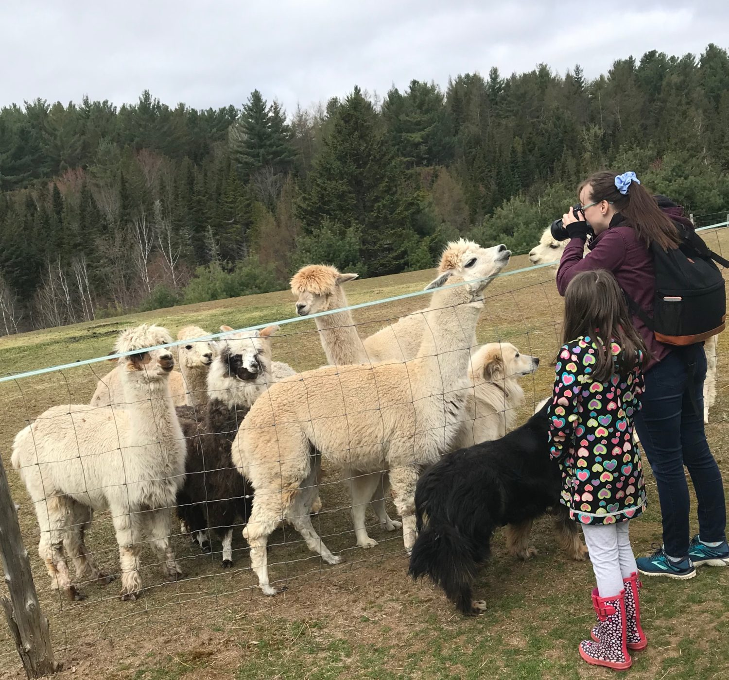 taking pictures of alpacas